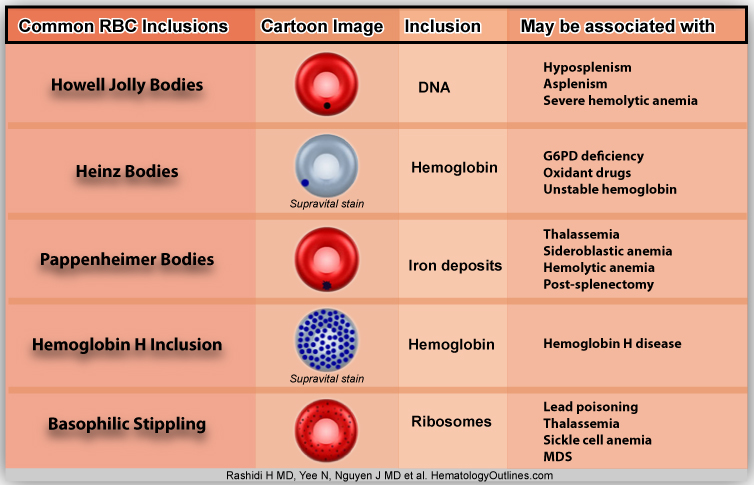 the role and importance of a hematologist in blood science Macrophages: the 'defense' cells that help throughout the body  2017 — an unexpected role for a white blood cell called the natural killer (nk) cell -- a critical cell for ridding the body of.